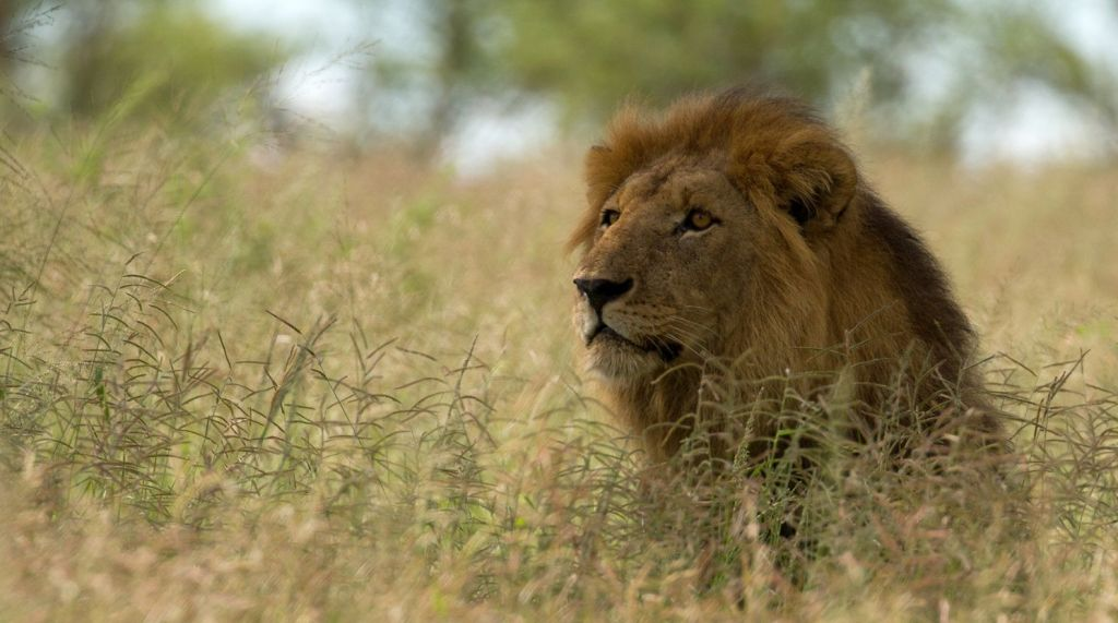 A male lion in northern Tanzania