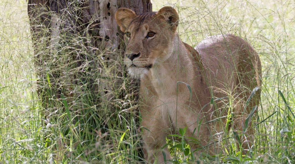 A female lion in northern Tanzania