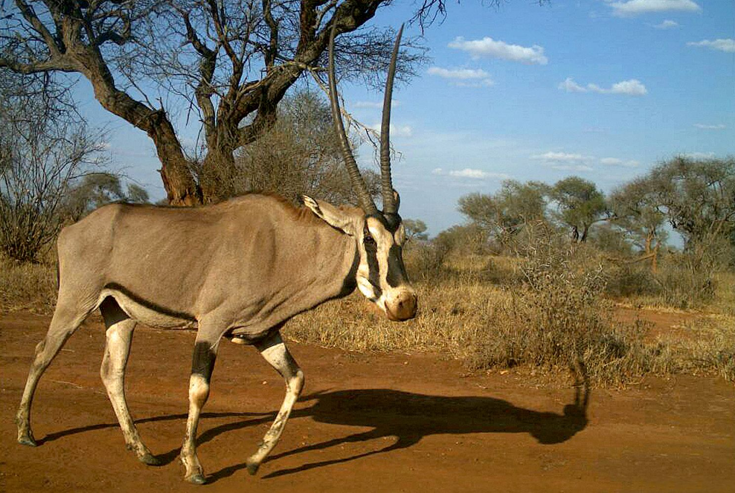 A camera trap image of a fringe-eared oryx in Tanzania