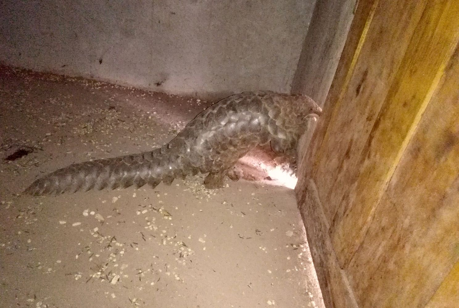 A pangolin who was held captive in a storage shed