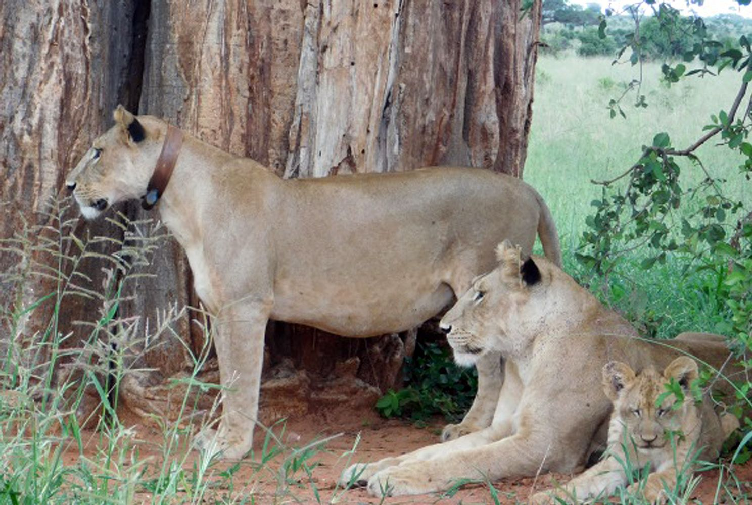 A collared lioness being monitored by the Tarangire Lion Project