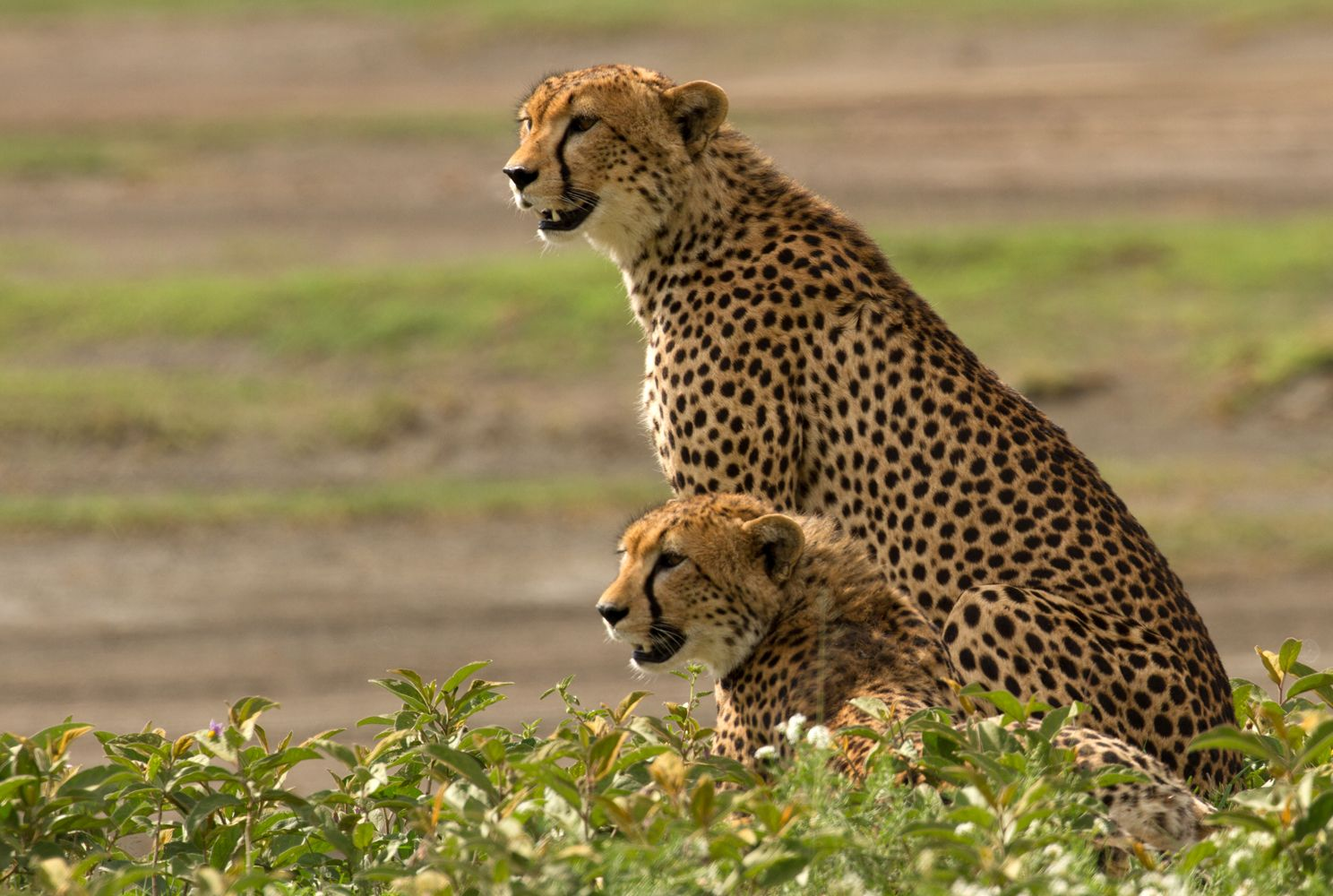 Two adult cheetahs in Tanzania