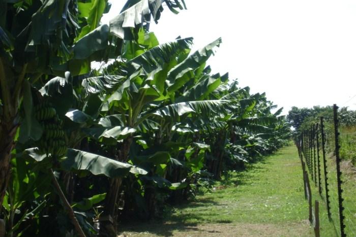 Zambia_Bananas