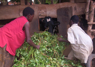 Changing Lives Through Heifers in Rural Uganda