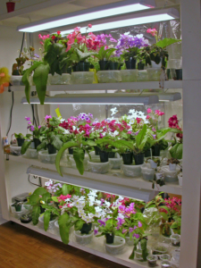 Streptocarpus growing on light stand lit with LED fixtures