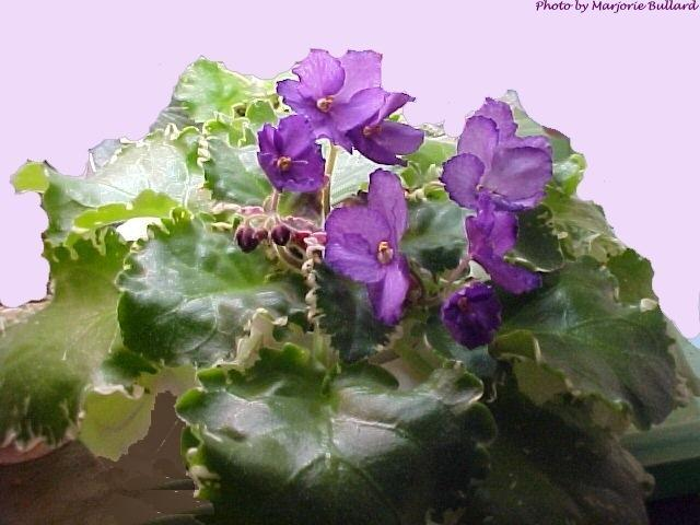 Absinthe House 06/04/1982 (B. Sisk) Single lavender ruffled/purple tips. Variegated. Large (DAVS 467)