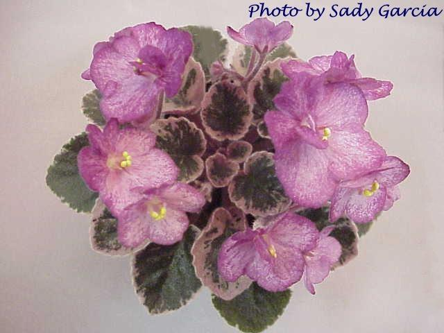 Aca's Georgene 06/16/1997 (J. Brownlie) Semidouble light pink sticktite pansy/red streaks, red sparkle edge. Variegated dark green and pink, plain, quilted. Semiminiature (CA)