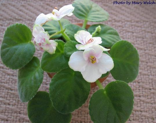 Aca's Marie (J. Brownlie) Semidouble pink pansy/green-white edge. Variegated medium green and white. Small standard (CA)