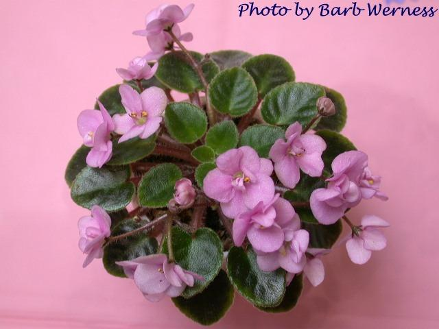 Aca's Pink Pet 07/05/1996 (J. Brownlie) Semidouble pink two-tone pansy. Medium green, pointed, glossy, hairy. Miniature (CA)