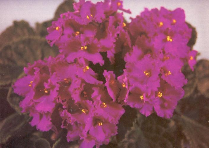 Aca's Red Delight 11/09/1981 (J. Brownlie) Double red frilled. Dark green, heart-shaped. Standard (CA 040, 1979)