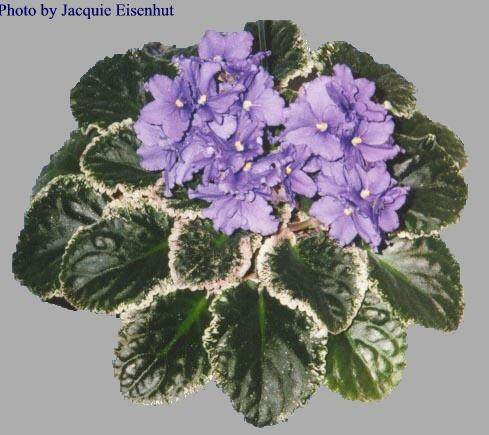 Apache Blanket 01/24/1986 (J. Munk) Double blue frilled. Variegated green, white and pink, ruffled. Standard (DAVS 1229, TX Hyb)