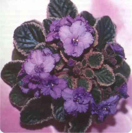 Apache Maiden 01/24/1986 (J. Munk) Single medium lavender/darker lavender eye, top petals. Variegated green, white and pink. Standard (DAVS 1249, TX Hyb)
