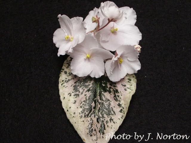 Jeanette's Apple Blossom