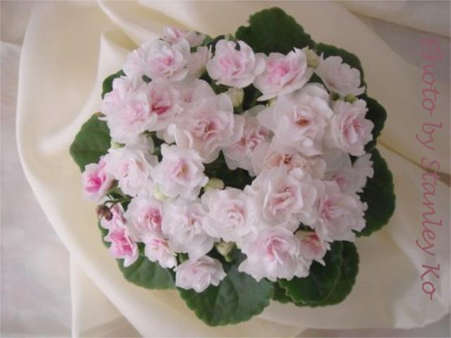 Kentucky Gooseberries (D. Rollins) Double white star/light pink blush. Medium green, serrated. Semiminiature (DAVS 1602)