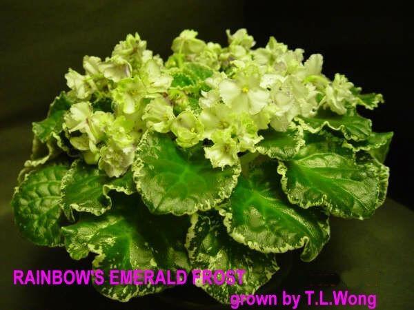 Rainbow's Emerald Frost