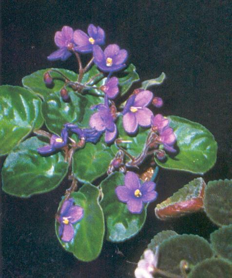 S. brevipilosus