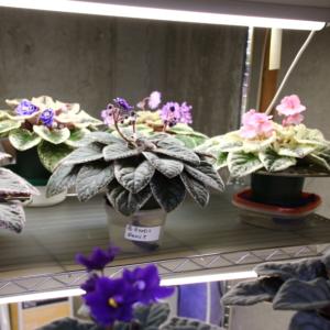 Sandra Skalski's variegated violets under fluorescent light