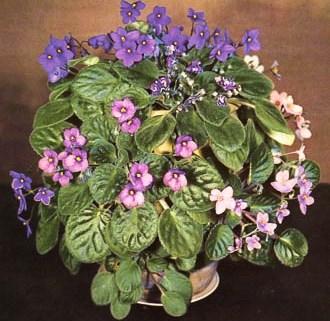 1935 6 Early Varieties MF