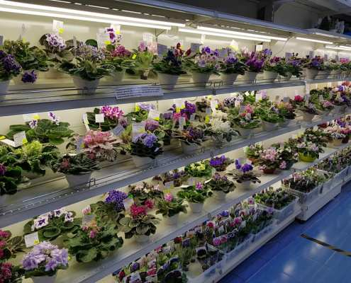 Dom Fialki plants for sale