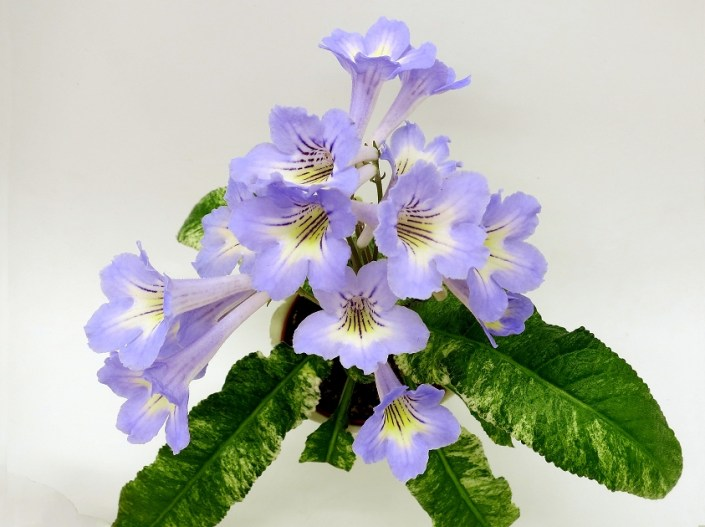Streptocarpus 'MK-Morskaia Zhemchuzhina' (M. Karpova) Blue flower (2 inches),with a yellow neck and blue rays coming out of the neck, slightly wavy edges. Variegated. Semiminiature
