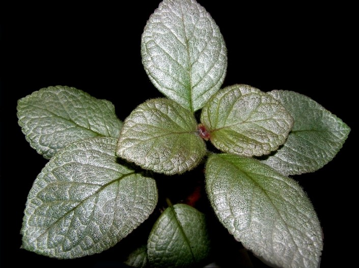 Episcia 'TM-Zhemchuzhinka' (T. Maltseva) Silvery, almost white sparkling leaves with a barely noticeable greenish tinge. The flowers are red-orange.