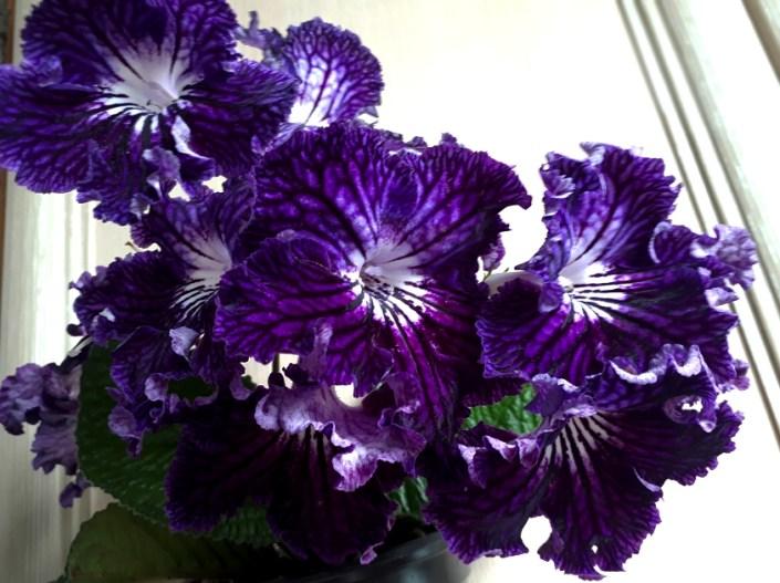 Streptocarpus 'ZM-Faradei' (Z. Metlushko) Large purple/darker veining, white throat.