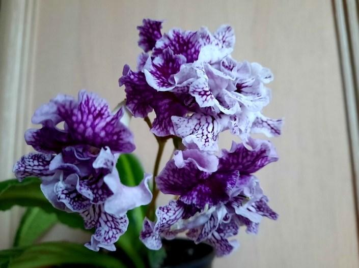 Streptocarpus 'ZM-Persei' (Z. Metlushko) Dense-double white with purple veining.