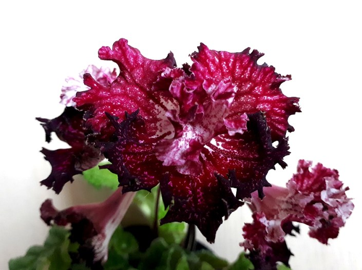 Streptocarpus 'ZM-Serdtse Drakona' (Z. Metlushko) Semidouble red/darker edges. Mini rosette.
