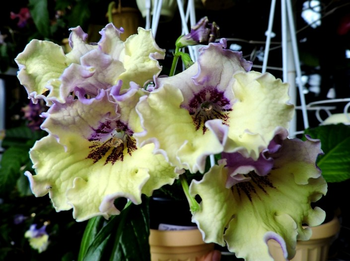 Streptocarpus 'ZM-Solnechyi Bereg' (Z. Metlushko) Yellow flowers with lilac patches on upper lobes and lilac underside.