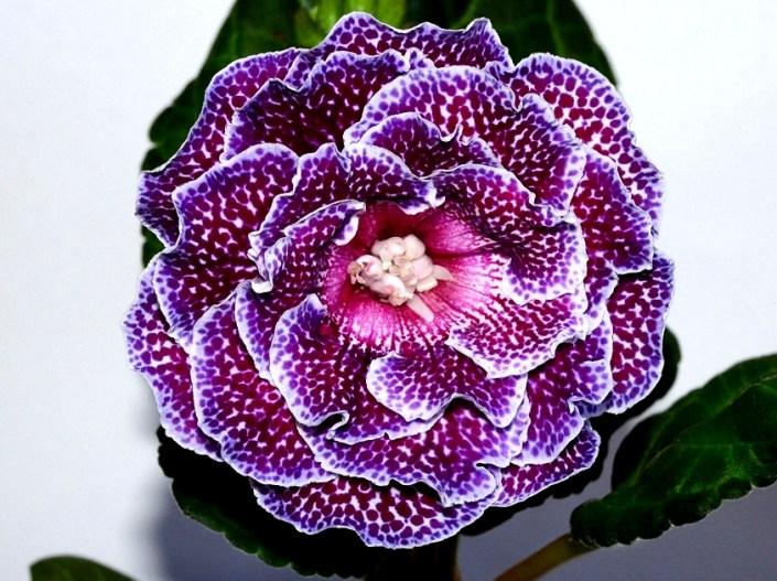 Sinningia speciosa 'EN-Avgustin' (E. Nikolaeva) Large double pale pink/dark cherry speckles, rose throat, lilac edge. Standard