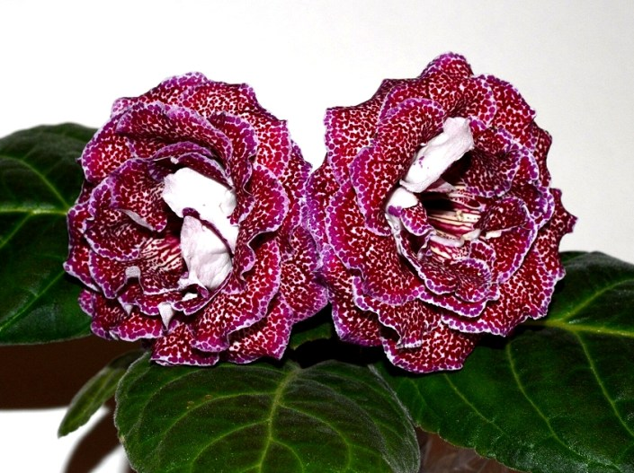 Sinningia speciosa 'EN-Fortunata' (E. Nikolaeva) Large double pale pink flowers of beautiful shape, large cherry speckles, thin lilac edge. Neat rosette, standard
