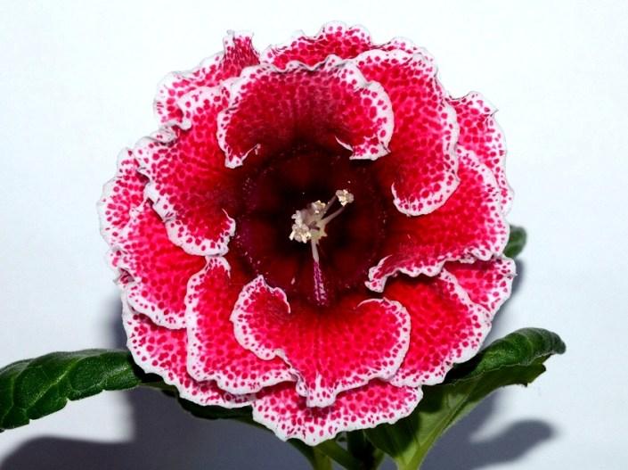 Sinningia speciosa 'EN-Kniazhenika' (E. Nikolaeva) Large double pink-red flowers/crimson speckles, maroon throat, white edge. Neat rosette, standard