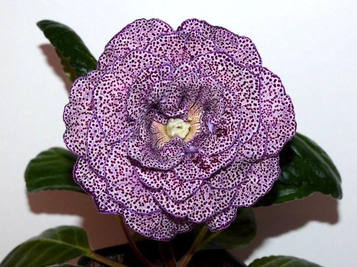Sinningia speciosa 'EN-Monsen'or' (E. Nikolaeva) Large multi-row lilac flowers, dark cherry speckles, thin dark lilac edge. Standard