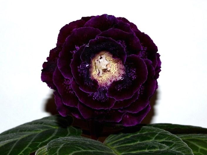 Sinningia speciosa 'EN-Nochnaia Serenada' (E. Nikolaeva) Large double purple flowers of beautiful shape, black-purple band and speckles, thin lilac edge, yellow throat. Neat rosette. Standard