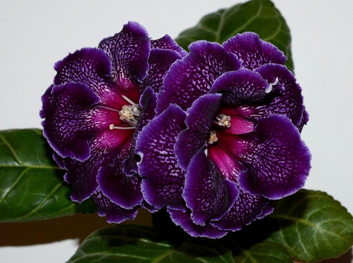 Sinningia speciosa 'EN-Nochnaia Vual'' (E. Nikolaeva) Large double lilac flowers of beautiful shape, purple speckles and band, lilac edge, cherry throat. Neat rosette. Standard