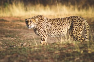 AfriCat Cheetah Rehabilitation Project