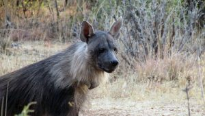Brown Hyaena Den News