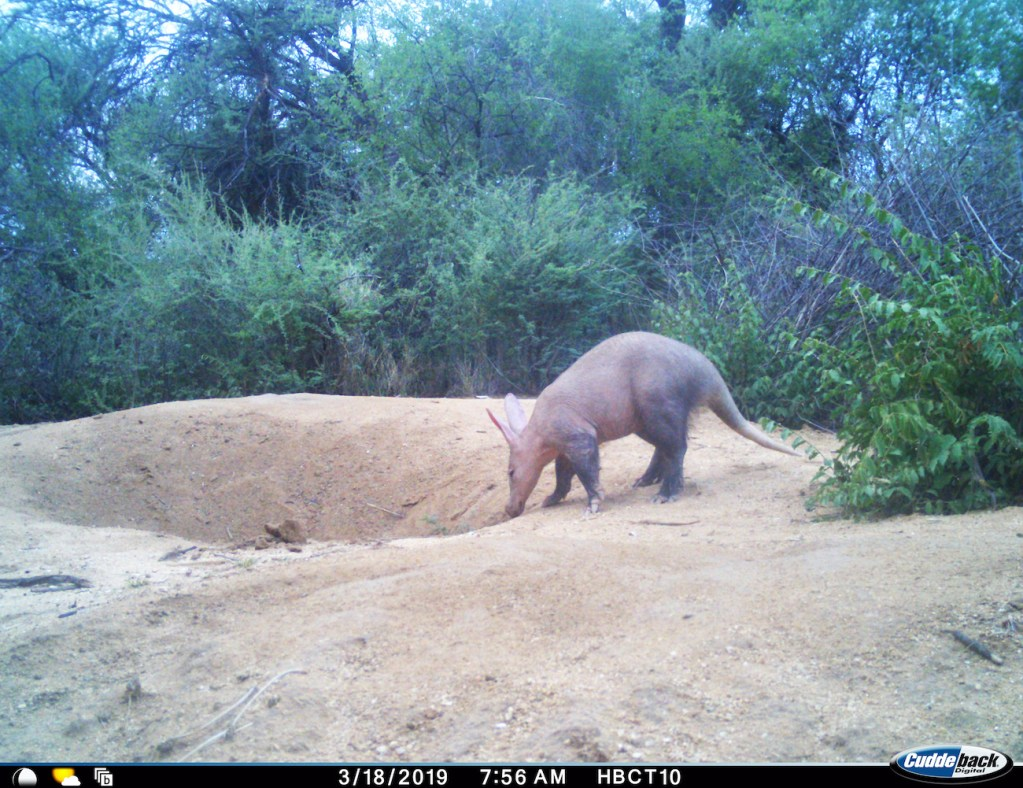 AfriCat Aardvark research captures these creatures using trail camera's