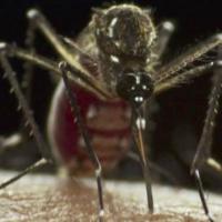 GlaxoSmithKline annonce des avancées sur son projet d'un vaccin contre le paludisme