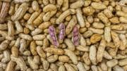 L'Arachide au Sénégal