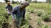 L'agriculture au Mali