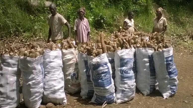Le manioc récolté