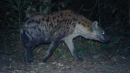 hyene gabon