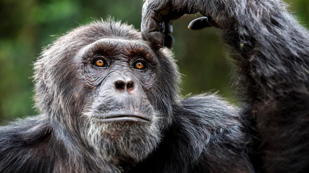 Drame : Un chimpanzé agresse et tue une femme à Siplou