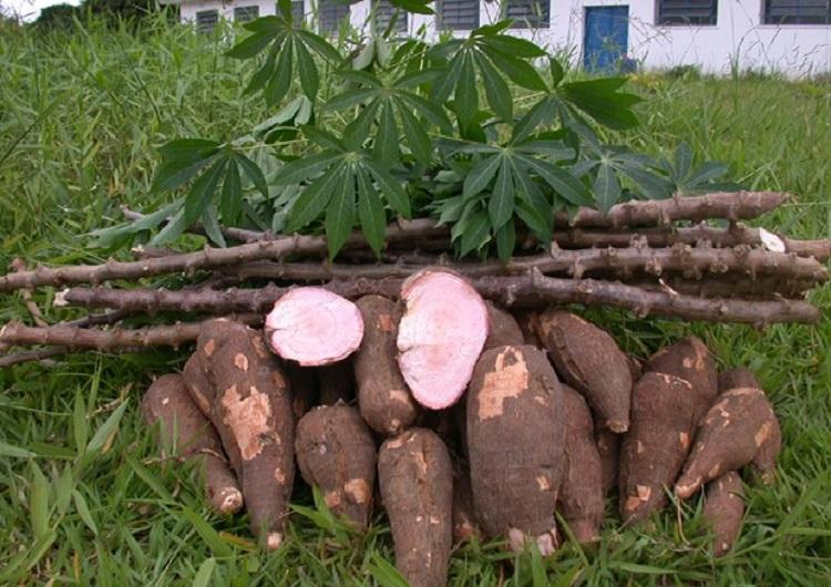 Dreadful virus threatens cassava production on the continent