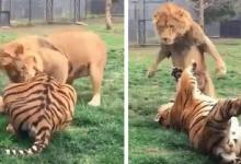 Lion stands erect, dodges striking claws blow from Tiger [Video]