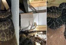 Man finds no less than 45 poisonous rattlesnakes under the house