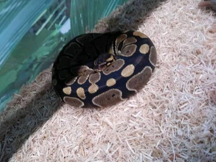 Ex sends live snake as a gift to the newly wedded couple