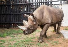 Five black rhinos deployed to raise population in Rwanda