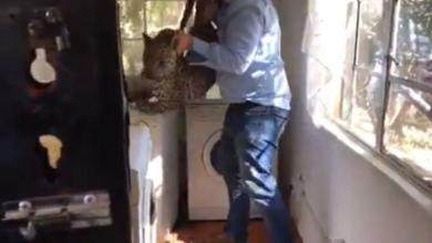 Cleaning lady finds leopard behind washing machine